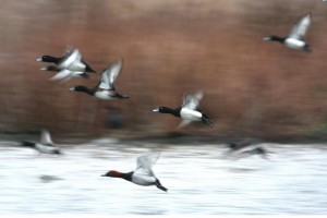 Tufted Duck and Pochard