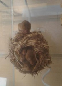 Harvest Mice Nest