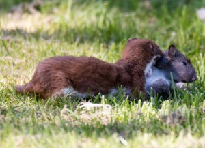 Stoat with squirrel