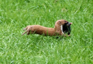 Weasel with moorhen chick