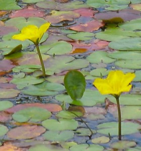 Fringed Water Lily