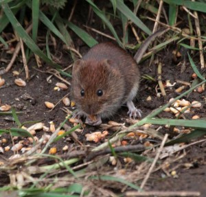 Willow Path Mouse